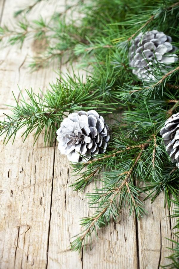 Evergreen fir tree branch and white pine cones. royalty free stock image