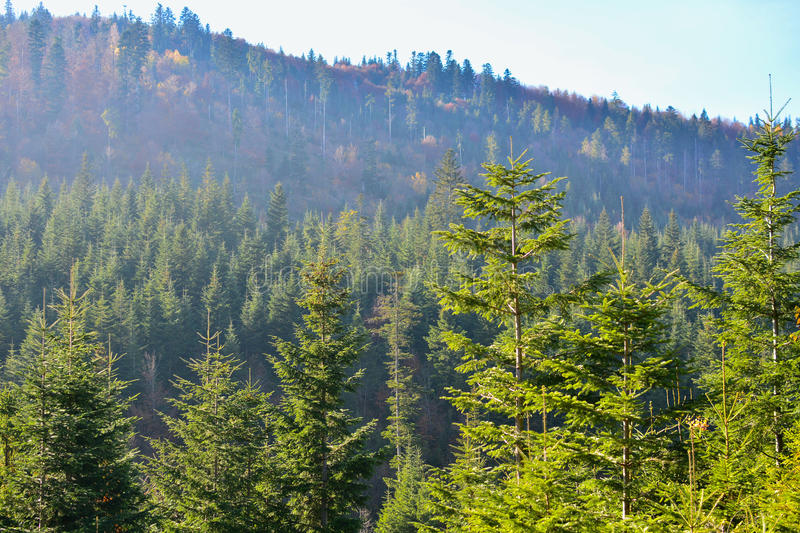 Evergreen forest in Carpathian Mountains, Ukraine. Travel, ecotourism stock images