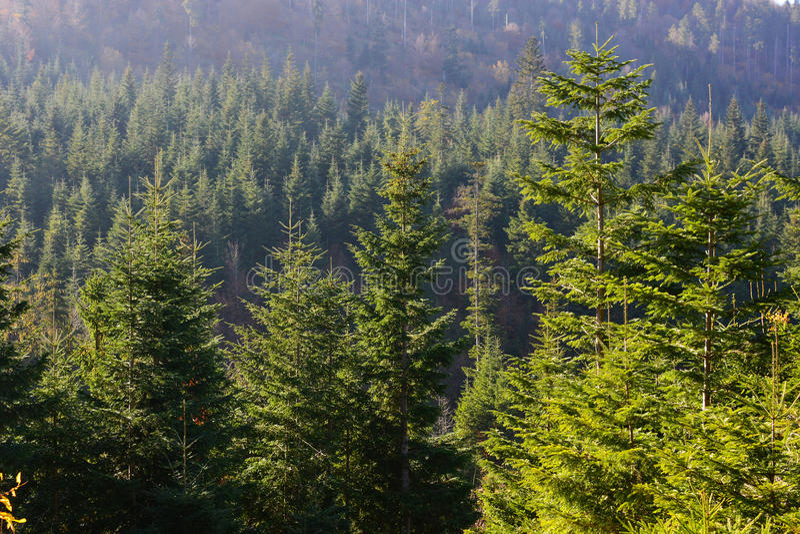 Evergreen forest in Carpathian Mountains, Ukraine. Travel, ecotourism stock photo