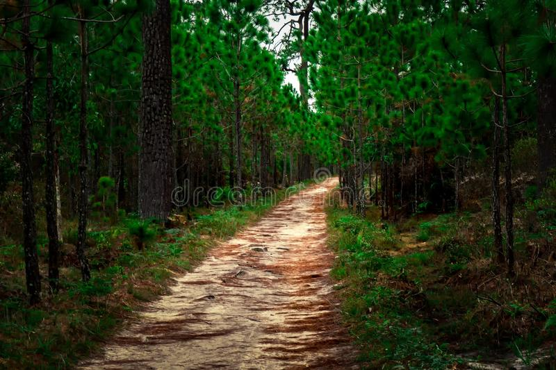Background of forest path and pine trees. Evergreen forest path along pine tree sand road royalty free stock image