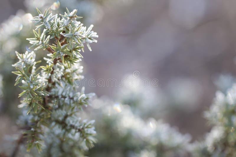 Evergreen juniper a hoarfrost fotografia stock libera da diritti