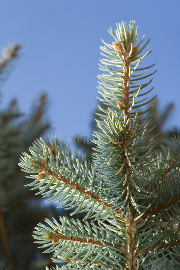 Evergreen juniper pine stock photography