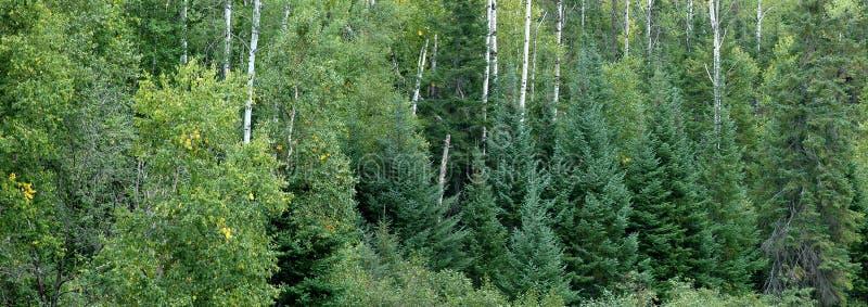 evergreen las obraz stock