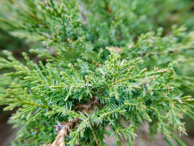 Evergreen macro pine tree details nature green freshness plant background. Outdoor park stock images