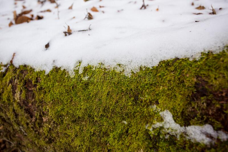 Evergreen moss covered with spring snow in march. Evergreen moss covered with spring snow stock photo