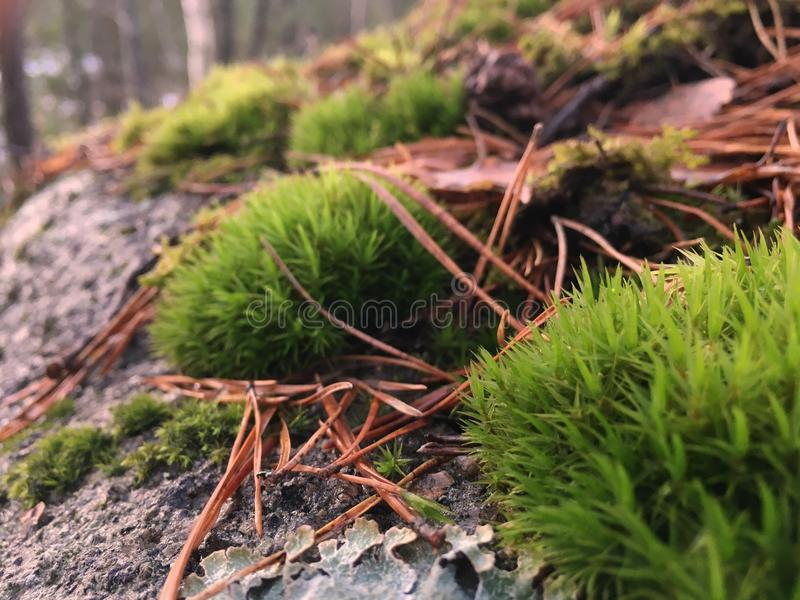 Evergreen moss. On a rock, covered with pine needles stock photo