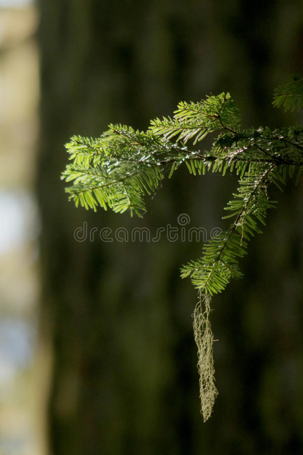 Evergreen Moss stock photography