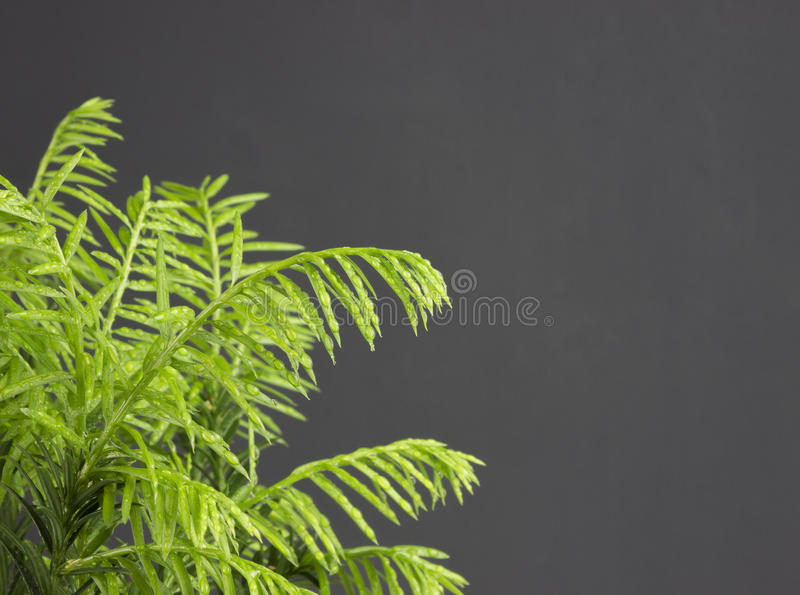 Evergreen pine needles photo background. Young small pine bush branch, soft focus. Evergreen pine needles photo background. Young small pine branch, selective royalty free stock image