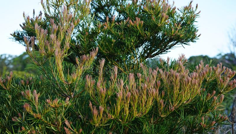 Evergreen pine plant found in Australia with upward branches and purple tip. S royalty free stock photo