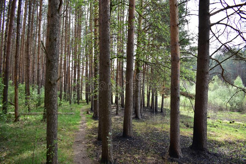Evergreen pine trees in the forest do not stay away from spring. They change their dark needles to new, light and tender stock images