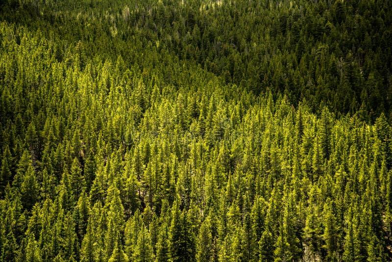 Evergreen Pine Trees - Mountain Forest stock photos