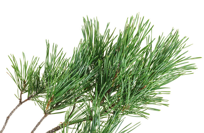 Download Evergreen Pine Twig On White Stock Photo - Image: 26640260