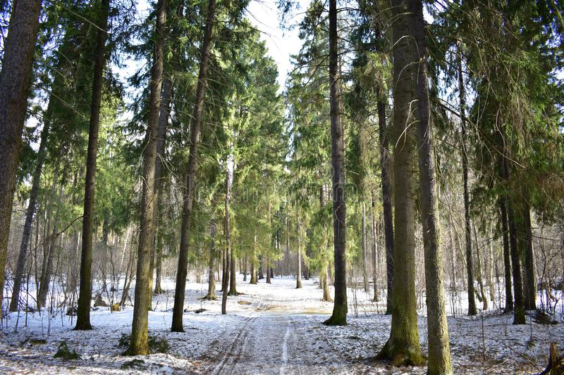 Evergreen pines and firs in the gloomy forest do not remain aloof from spring. They change their dark needles to new, light and tender royalty free stock photo