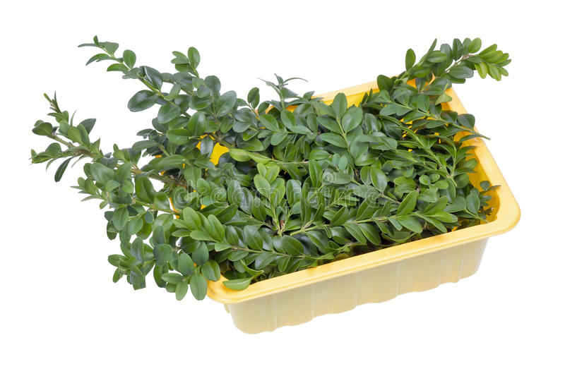 Download Evergreen Plant Boxwood Branches Stock Image - Image: 26534469