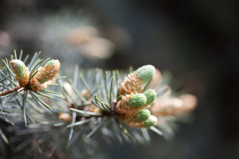 Evergreen sörjer trädfilialen med unga forsar och nya gröna knoppar, visare Vårplats, mjuk fokus arkivbild