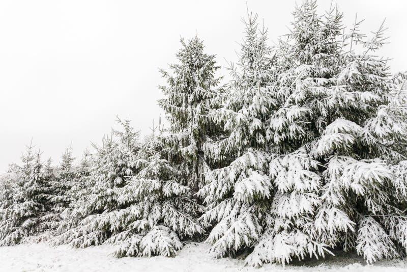 Evergreen sörjer trees som räknas med insnöad vinter arkivfoto