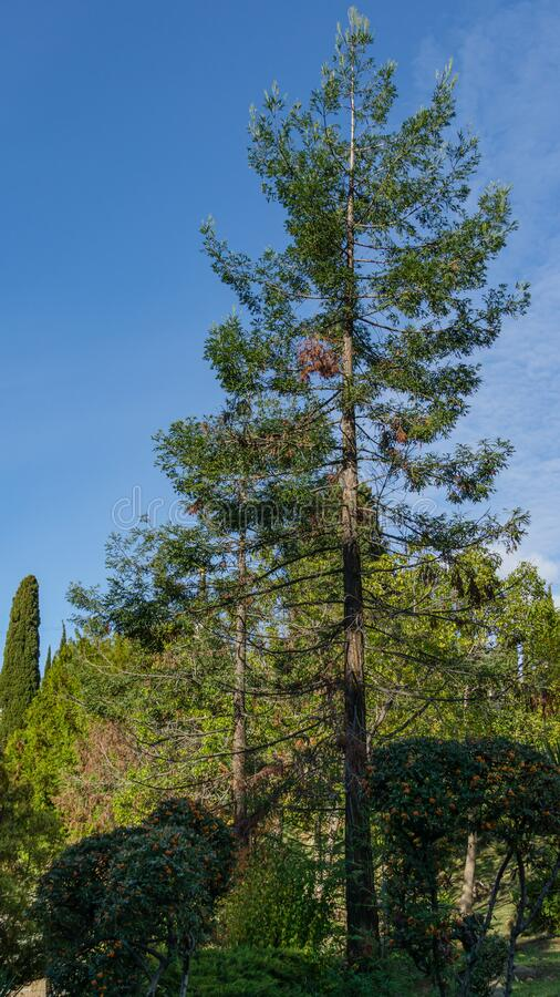 Free Evergreen Sequoia Sempervirens Coast Redwood Tree On Blue Sky Background In Autumn Park Stock Photos - 205526413