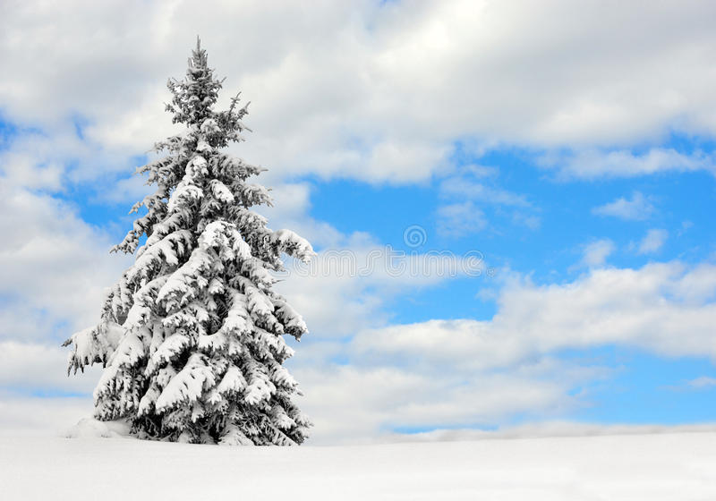 Evergreen in the snow stock photo