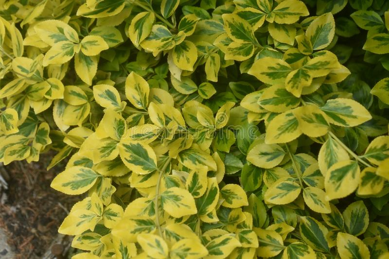 Evergreen Spindle -  Euonymus Japonicus stock photography