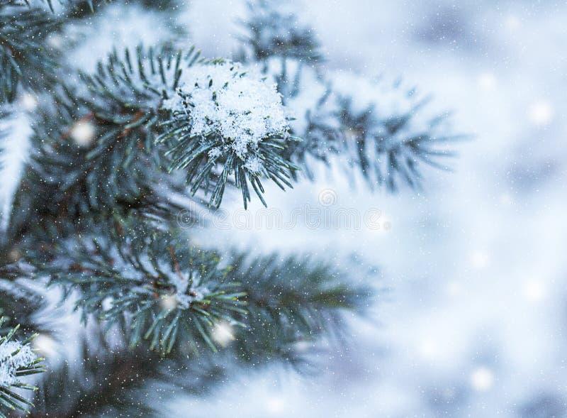Evergreen Spruce Branch med Snow arkivfoton