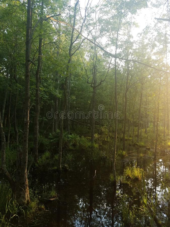 Evergreen swamp and trees stock images
