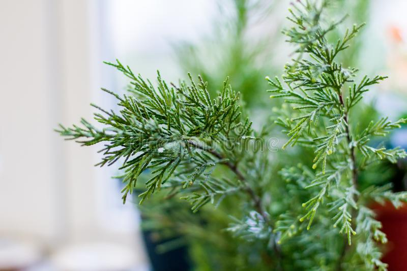 Evergreen Thuja Branches stock images