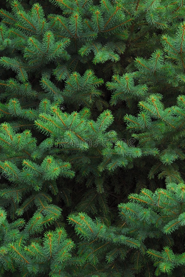 Free Evergreen Tree Stock Photos - 1421713