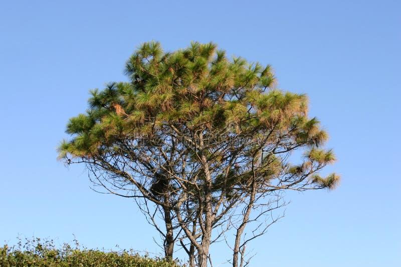 Evergreen Tree stock photography