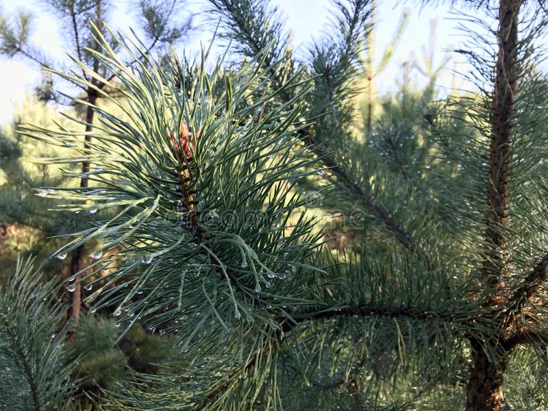 Evergreen Tree and blue sky. royalty free stock photography