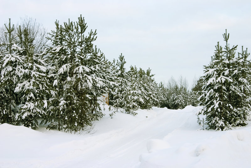Evergreen trees stock photography