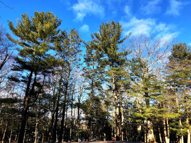 Evergreen trees against blue sky. Inside Burr pond state park in winter in New England Litchfield Connecticut United States royalty free stock photo