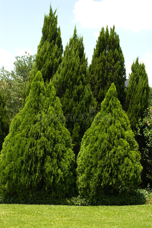 Evergreen trees in green yard royalty free stock image
