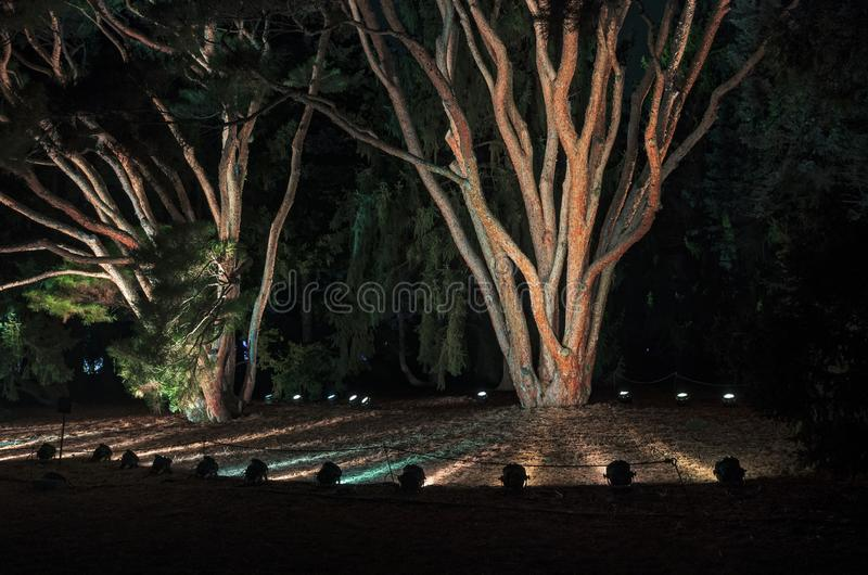 Evergreen Trees Lit by Floodlights. Two evergreen trees lit by floodlights at night in park stock images