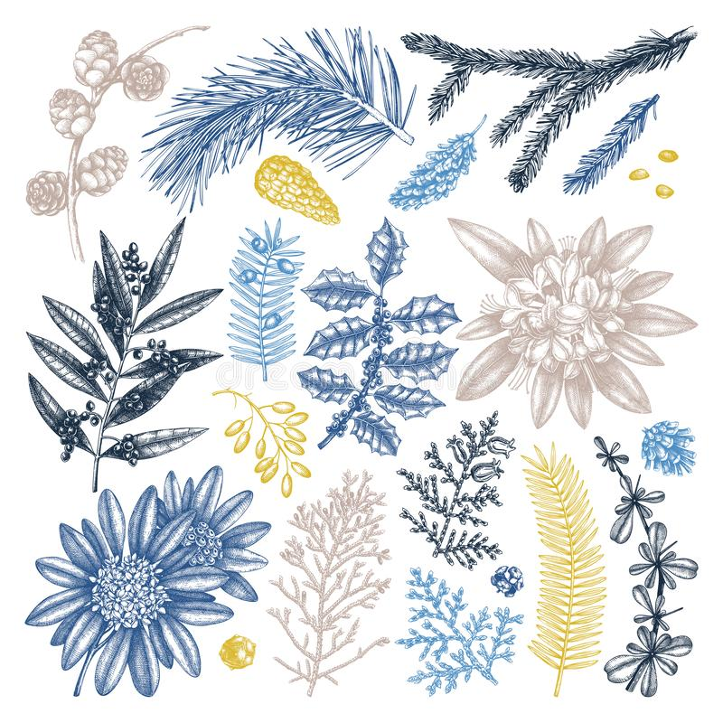 Evergreen trees and shrubs collection. Vintage Christmas elements set. Vector botanical illustration with leaves, conifers, royalty free illustration