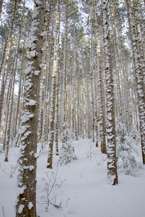 Evergreen Trees with Snow On Bark