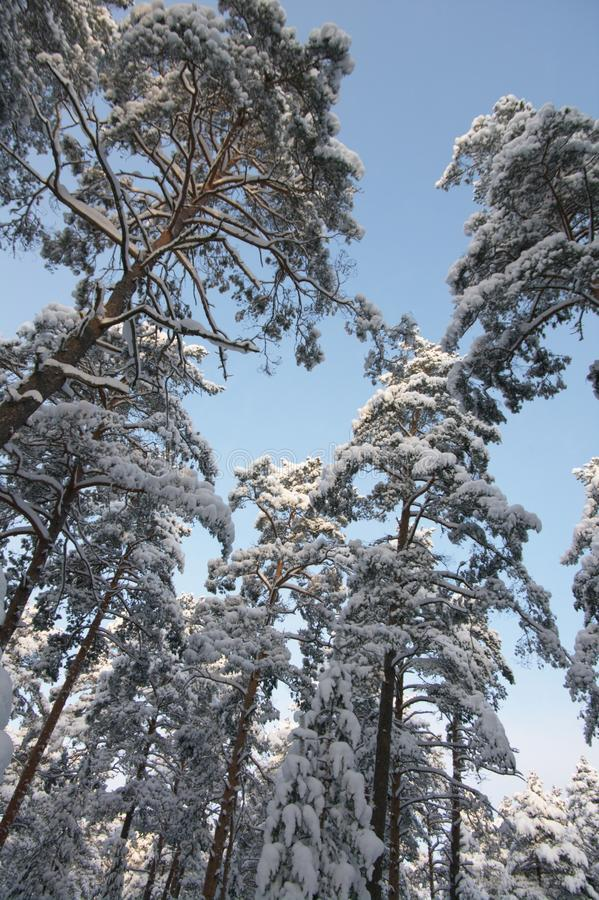 Evergreen trees in winter royalty free stock photos