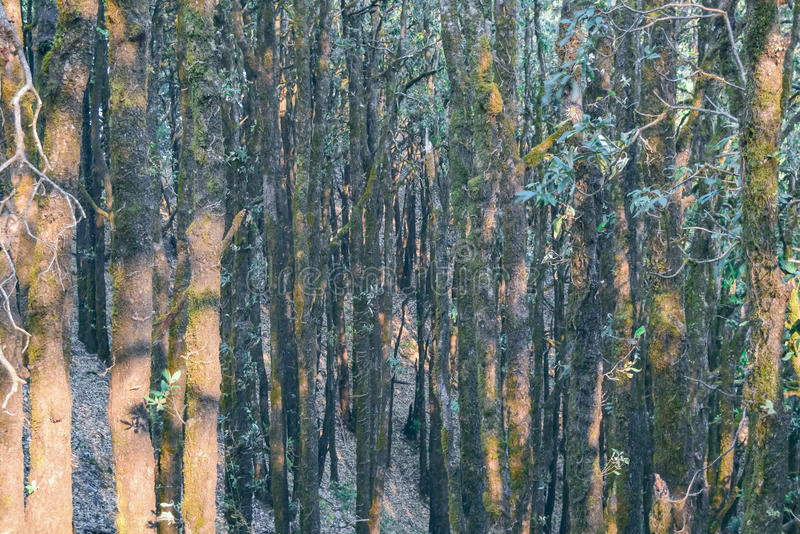 Evergreen tropical rainforest where trees covered with moss in Binsar district Pithoragarh Uttrakhand. Tropical forest in Himalayan mountain range royalty free stock photos