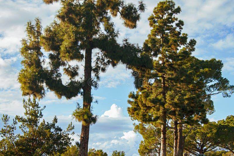 Evergreens с panaramic взглядом неба с nimbus, cumulous облака стоковое изображение