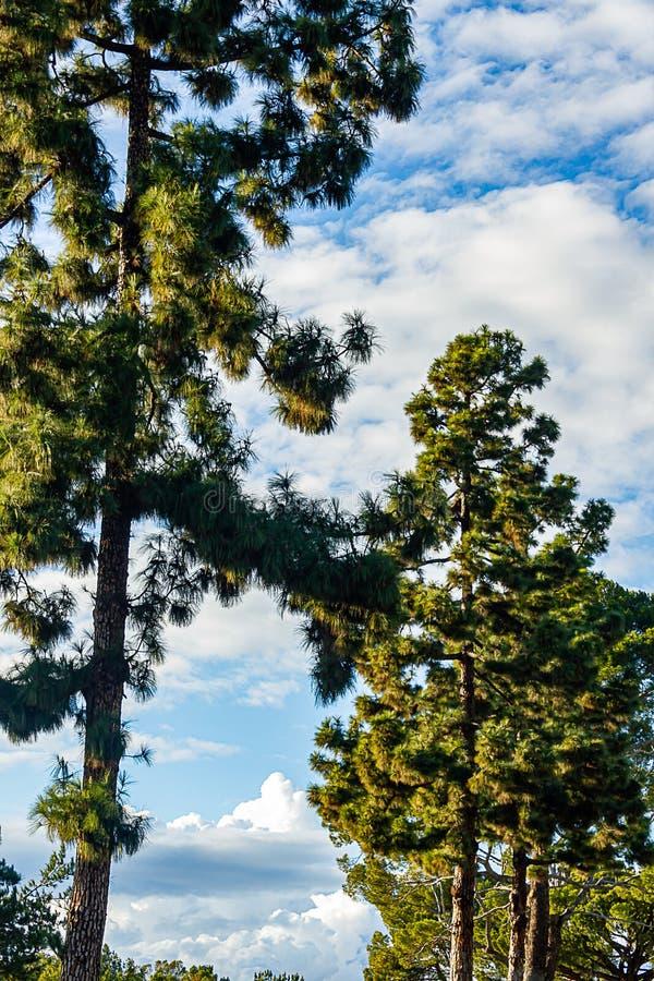 Evergreens с panaramic взглядом неба с nimbus, cumulous облака стоковые фото