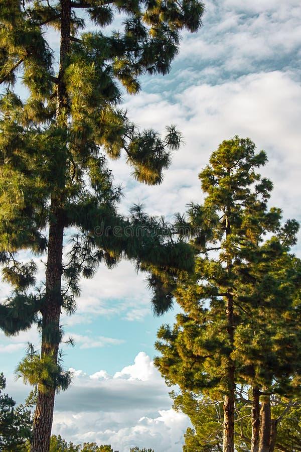 Evergreens с panaramic взглядом неба с nimbus, cumulous облака стоковая фотография rf