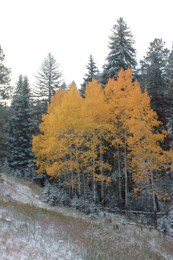 Evergreens dourados do quadro dos ?lamos tremedores do inverno imagens de stock