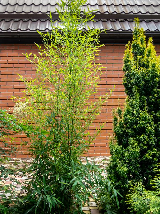 Evergreens are graceful green bamboo Phyllostachys aureosulcata and yew Taxus baccata Fastigiata Aurea on a brick wall background. With a metal brown roof stock image