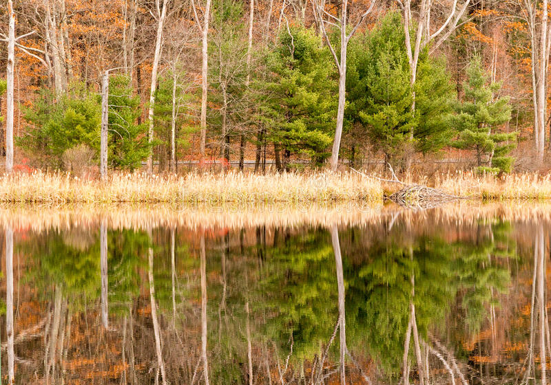 Evergreens, leaf drop trees, reeds and reflections on pond and Fall color stock images