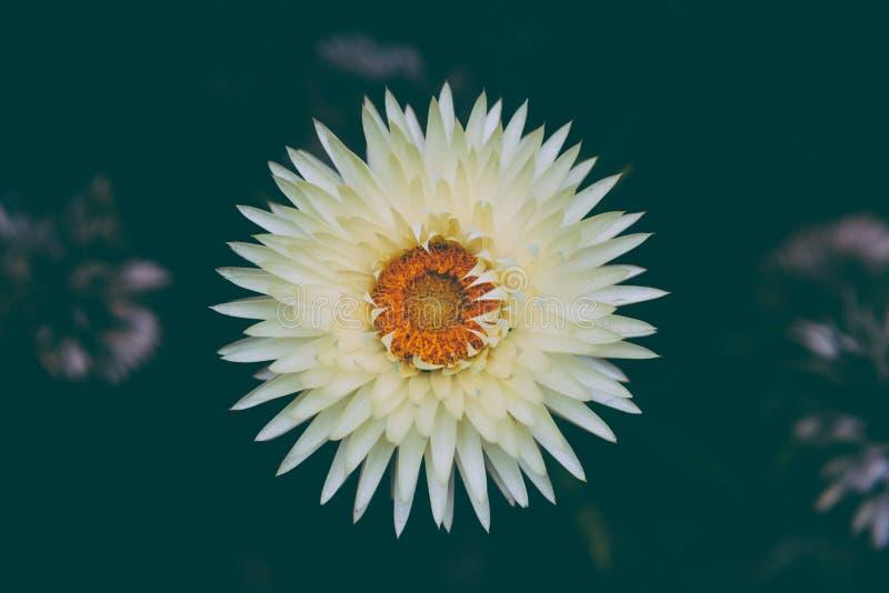 Everlasting Daisy - white and yellow, analog look. Australia stock photo