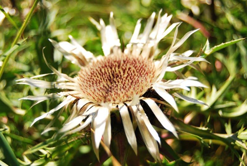 Everlasting flower royalty free stock photography