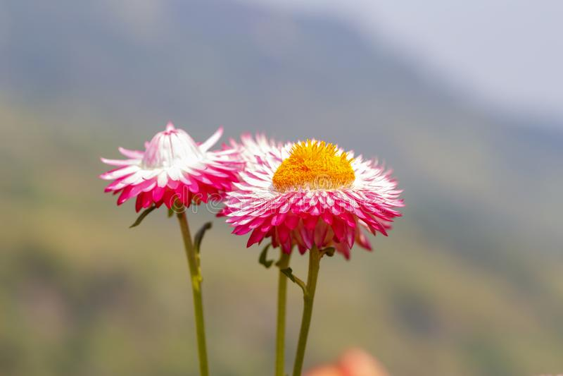 Everlasting or straw flower helichrysum bracteatum willd bl royalty free stock photography