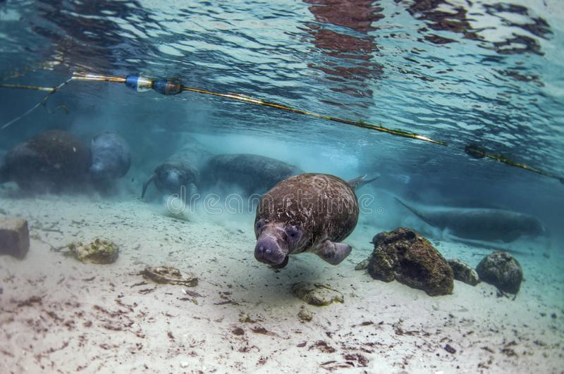Every winter, manatees enter the warm waters of the Crystal River. Every winter, mantees enter the warm waters of the Crystal River royalty free stock photography