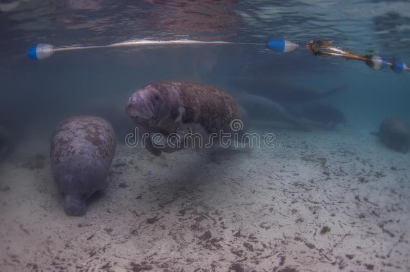Every winter, manatees enter the warm waters of the Crystal River. Every winter, mantees enter the warm waters of the Crystal River stock images