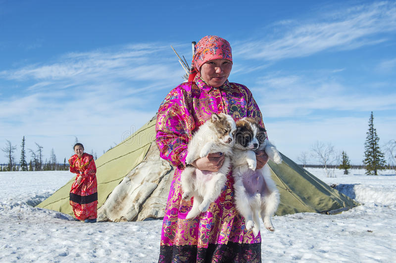 Everyday life of Russian aboriginal reindeer herders in the Arctic. Russia. Tyumen region. Yamal Nenets Autonomous District - Yamal. Priuralsky area. A team of stock photo