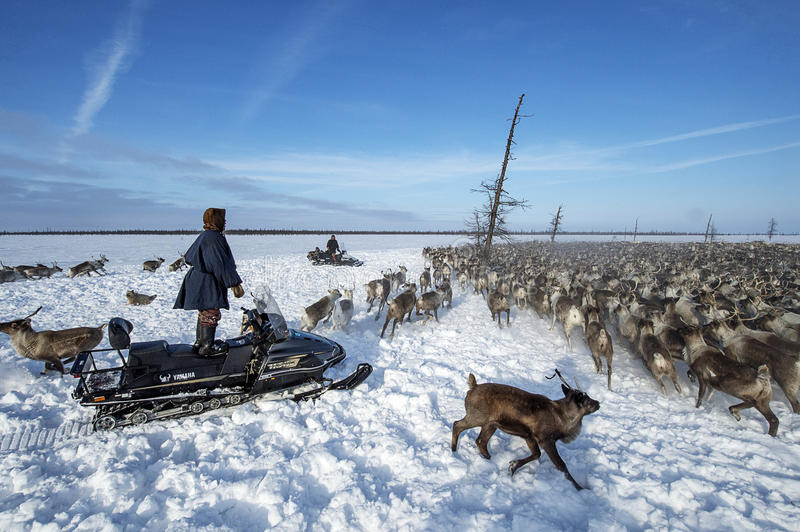 Everyday life of Russian aboriginal reindeer herders in the Arctic. Russia. Tyumen region. Yamal Nenets Autonomous District - Yamal. Priuralsky area. A team of royalty free stock photo